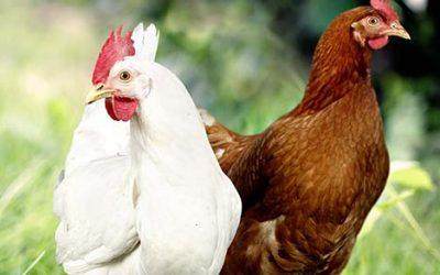 NOVOGEN, une sélection innovante sur le comportement des poules