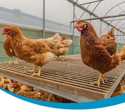Behavior of poultry breeding