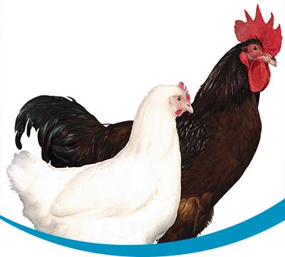 Novogen poultry selection