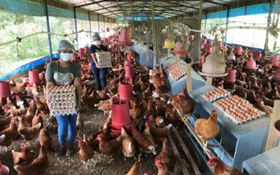 Arce Avícola, fortalece y diversifica la producción de huevo en Panamá