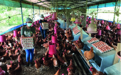 Arce Avícola, strengthening and diversifying egg production in Panamá