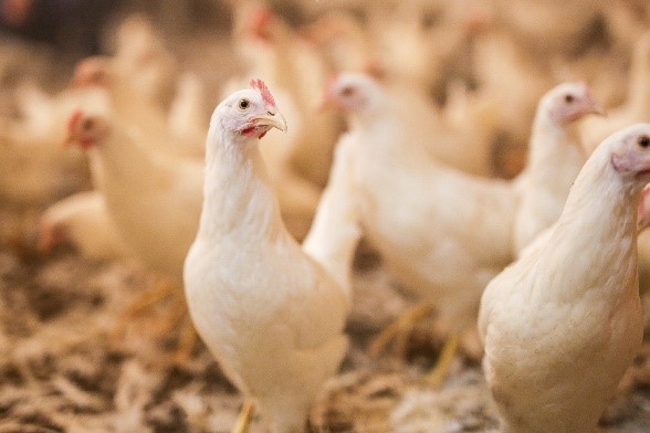 ESSENTIAL POINTS TO OBTAIN A GOOD LAYER PULLET