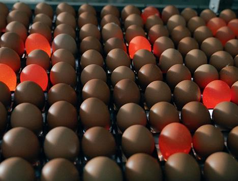 Prendre soin des œufs à couver pour produire des poussins de qualité